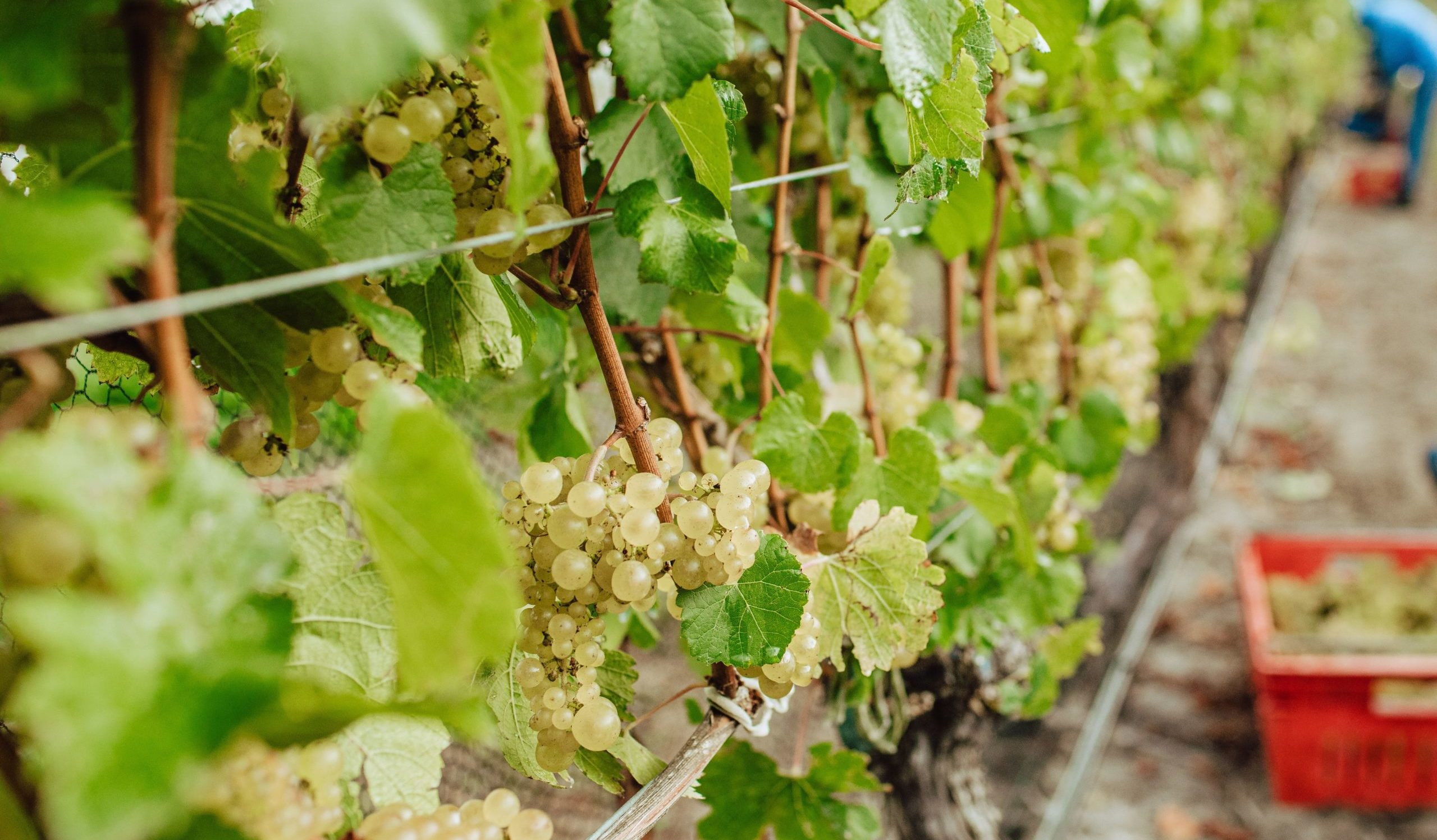 Chardonnay Picking Hawkes Bay New Zealand
